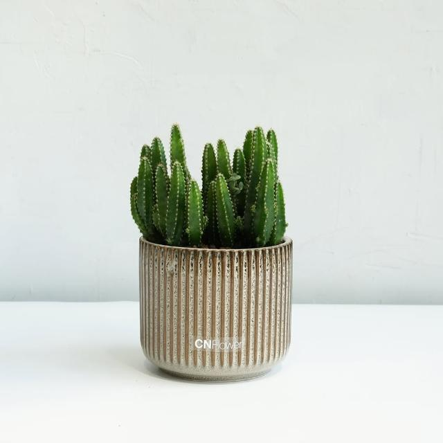 【CNFlower 西恩】仙人掌 咖啡色條紋花器(送禮/植栽/植物/多肉植物)